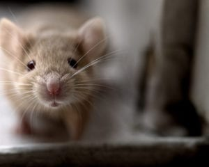 Contact a mouse control professional today if you believe you are experiencing a mouse infestation in your home