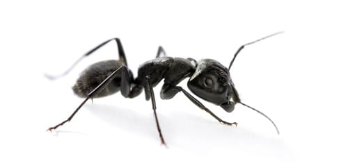 Carpenter Ant Appearance