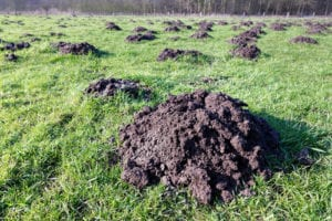 For all of your mole control Bergen County needs, contact Precise Pest Control